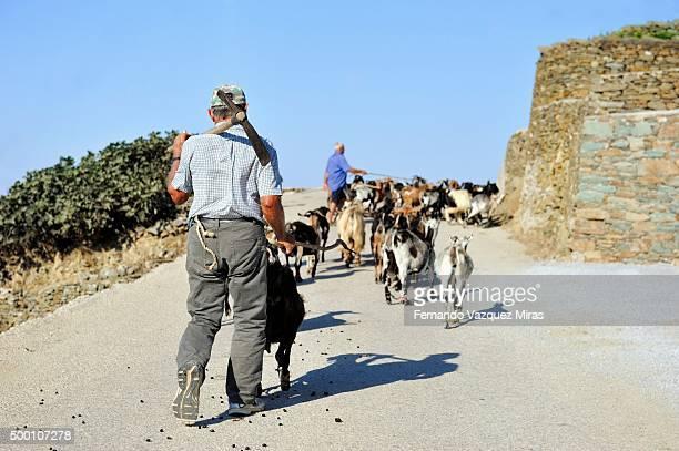 flock of sheep and shepherd in folegandros, greece - cidade velha - fotografias e filmes do acervo