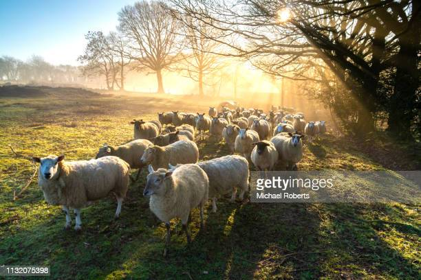 flock of sheep at dawn in penallt, monmouthshire - 草を食む ストックフォトと画像