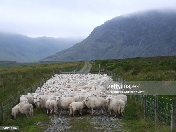 flock of sheep at farm - flock of sheep stock photos and pictures