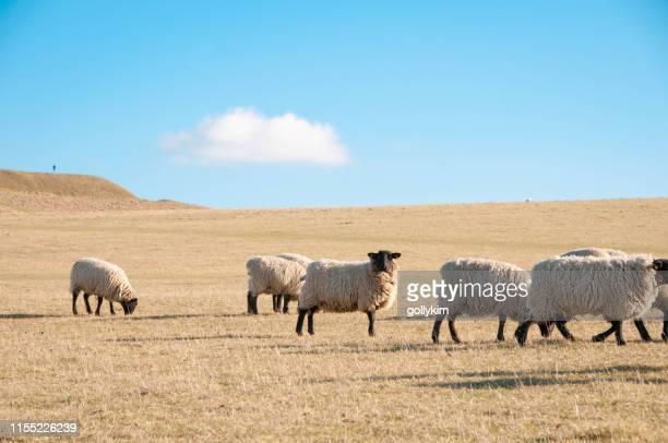 冬の終わりにアフィントンホワイトホースヒルで羊の群れ, オックスフォードシャー, イングランド - アフィントン ストックフォトと画像