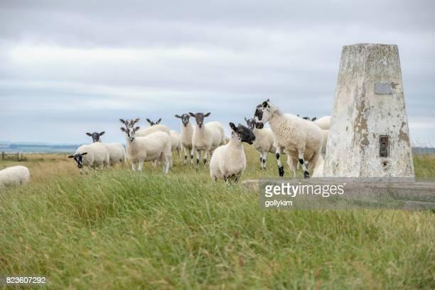 アフィントン ホワイト ホースの丘で羊の群れ - アフィントンの白馬 ストックフォトと画像