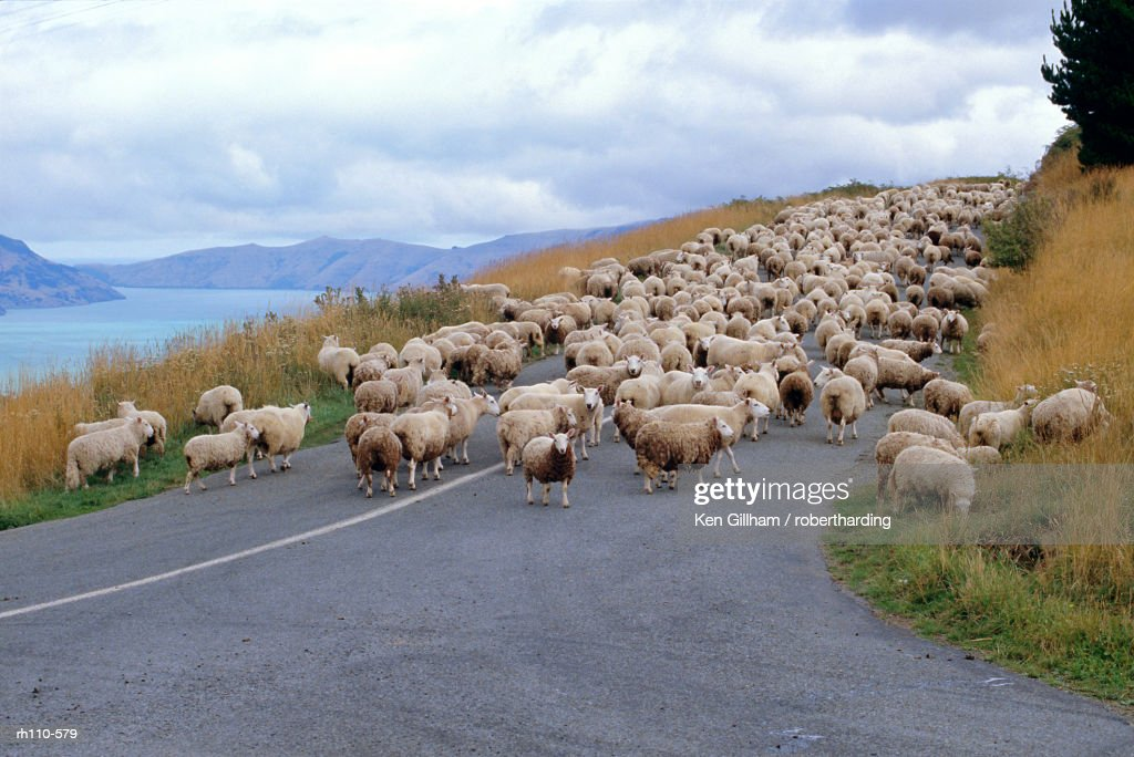 Flock of sheep, Banks Peninsula, Canterbury, South Island, New Zealand, Pacific : Foto de stock