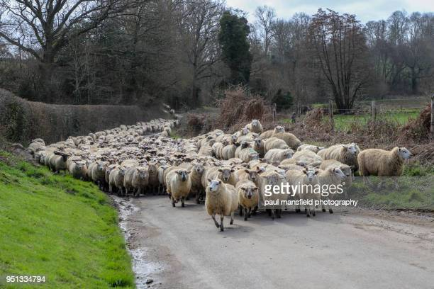 flock of sheep being herded along sussex country road - ovino foto e immagini stock