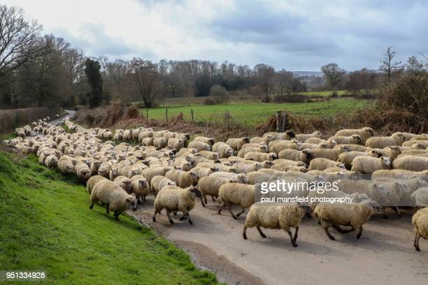 flock of sheep being herded along sussex country road - mansfield england stock pictures, royalty-free photos & images