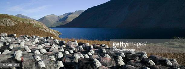 Flock of Sheep by Wast Water