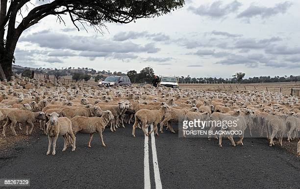 A flock of sheep causes traffic to come to a standstill on a country road near Stuart Town on May 31 2009 The Australian tradition of 'grazing the...