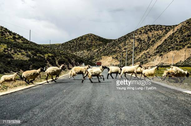 Flock Of Sheep Crossing Road Against Mountains