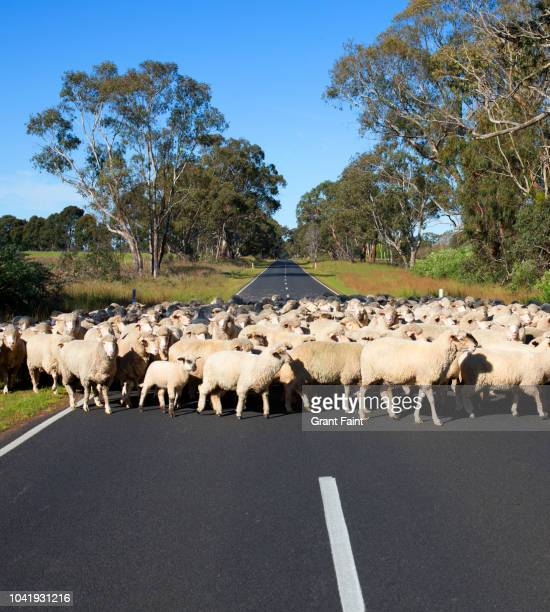 flock of sheep crossing roadway - un animal fotografías e imágenes de stock