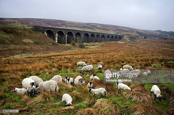 Flock of sheep feeding on a wet day in the Yorkshire dales. In the distance is the Settle and Carlisle Railway and Dandrymire Viaduct. Located at...
