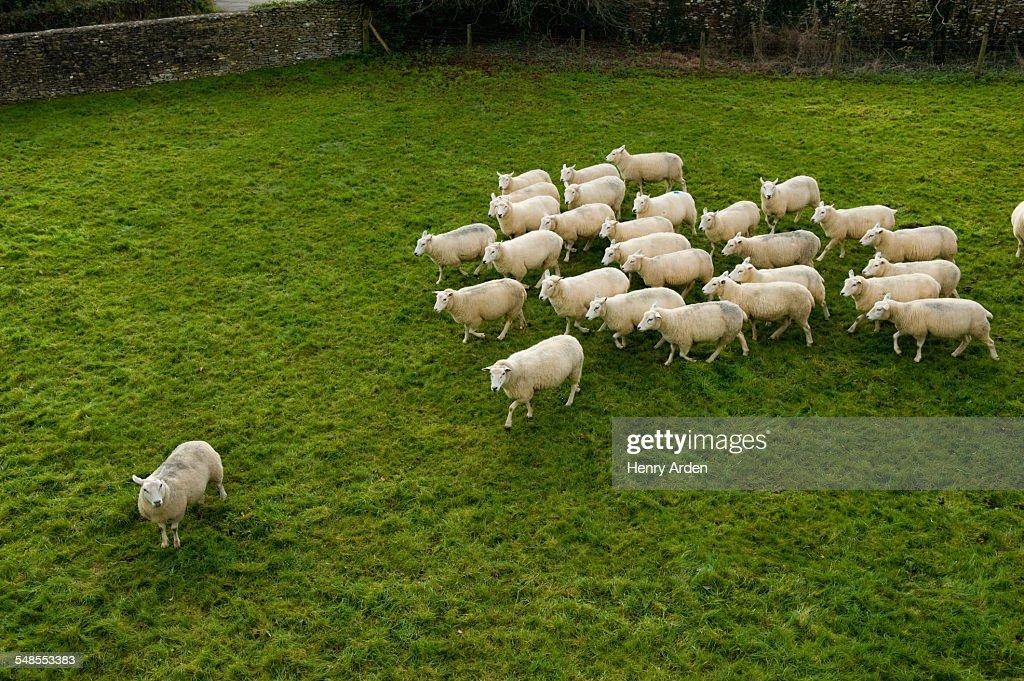 Flock of sheep following single sheep : Stock Photo