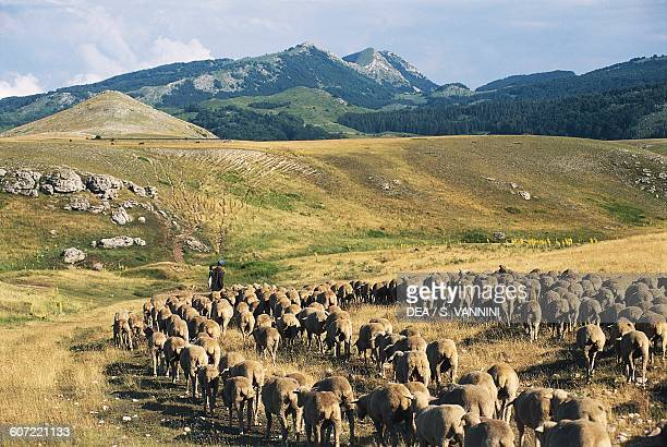 Flock of sheep grazing Campo Imperatore mountain grasslands Gran Sasso and Monti della Laga National Park Abruzzo Italy