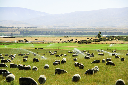 A Flock of Sheep Grazing in Cardrona Valley, New Zealand, during Summer - gettyimageskorea