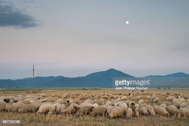 flock of sheep grazing in the countryside at dusk, near brasov, transylvania, romania - siebenbürgen stock-fotos und bilder