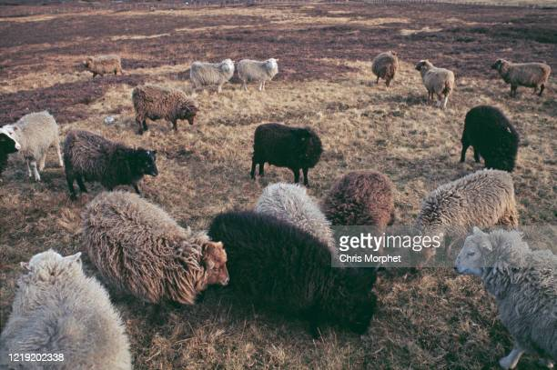 A flock of sheep grazing in the Shetland Islands Scotland June 1970 The wool from these sheep is used to make Fair Isle sweaters