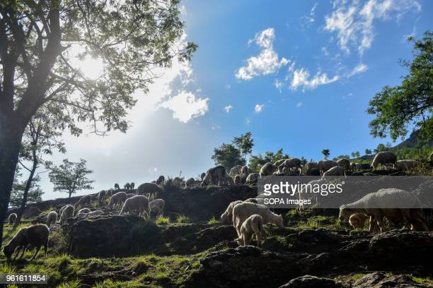 Flock of sheep grazing on a hill on the outskirts of Srinagar
