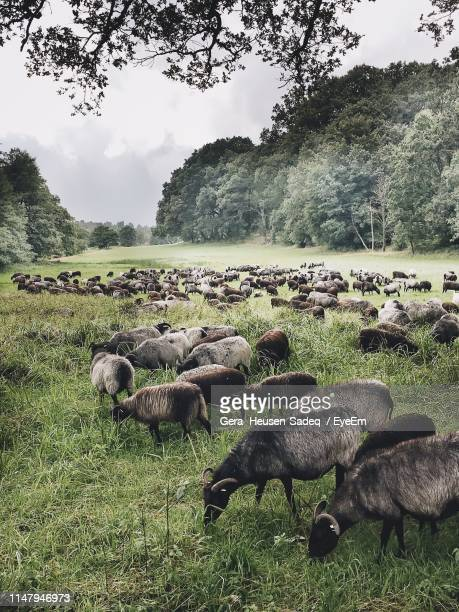 flock of sheep grazing on field - lüneburg stock pictures, royalty-free photos & images