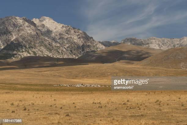 flock of sheep grazing on grassland, campo imperatore, abruzzo, italy - グランサッソアンドラガ国立公園 ストックフォトと画像
