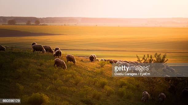 Flock Of Sheep Grazing On Grassy Field Against Clear Sky At Morning