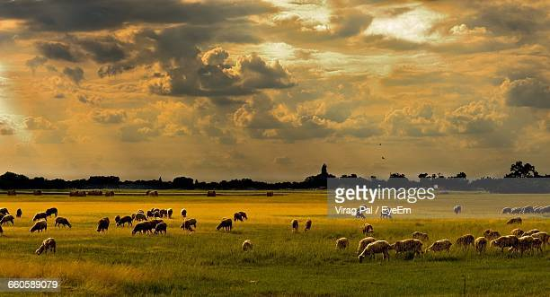 Flock Of Sheep Grazing On Meadow Against Cloudy Sky