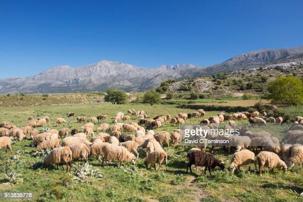 flock of sheep grazing on the lasithi plateau, crete, greece - creta fotografías e imágenes de stock