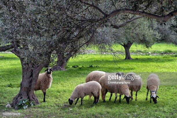 flock of sheep grazing under an olive tree. - emreturanphoto stock pictures, royalty-free photos & images