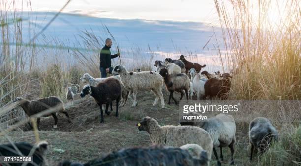 Troupeau de moutons broutant avec Berger
