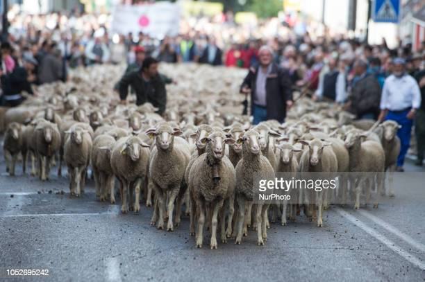 A flock of sheep guided by shepherds during the march carried out by the sheep through the center of Madrid Shepherds guided sheep through the Madrid...