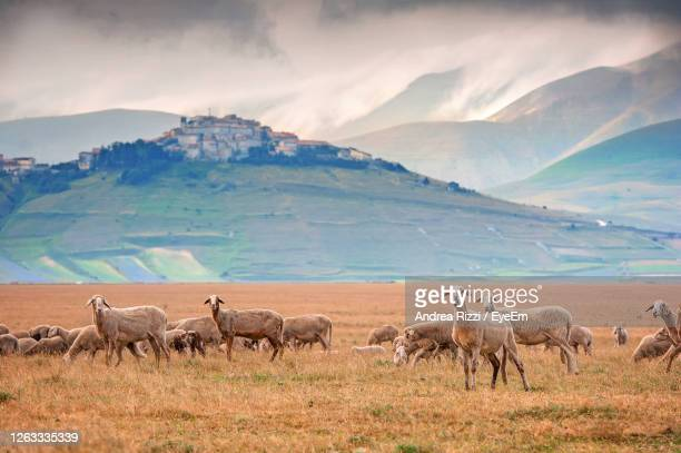 flock of sheep in a farm in castelluccio of norcia - andrea rizzi stockfoto's en -beelden