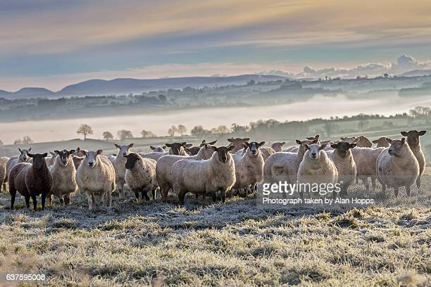 flock of sheep in a field on a frosty morning - flock of sheep stock photos and pictures