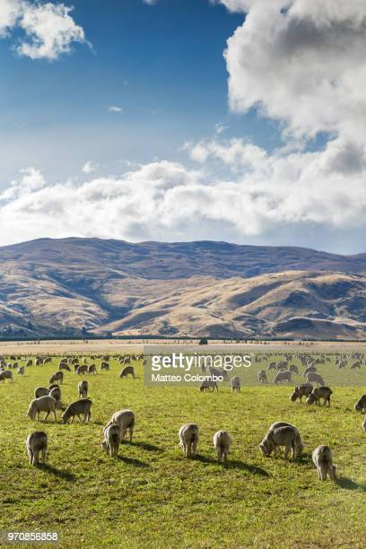 flock of sheep in a meadow, canterbury, new zealand - região de canterbury nova zelândia - fotografias e filmes do acervo