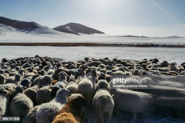 POV Flock of sheep in deep snow