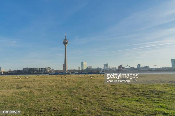 flock of sheep in düsseldorf, germany - landschaft stock pictures, royalty-free photos & images
