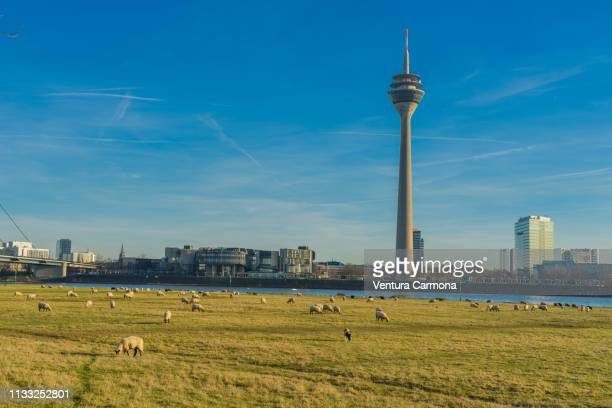 flock of sheep in düsseldorf, germany - sonnig stock pictures, royalty-free photos & images