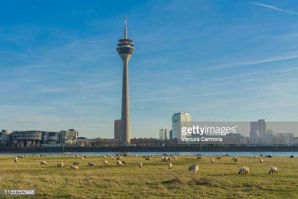 flock of sheep in düsseldorf, germany - stadtsilhouette stock pictures, royalty-free photos & images