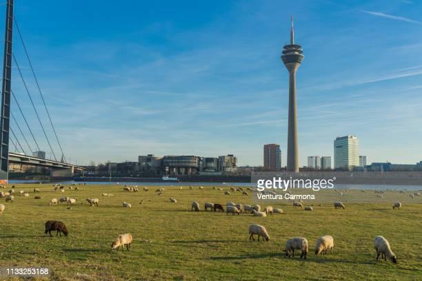 flock of sheep in düsseldorf, germany - stadtsilhouette stockfoto's en -beelden