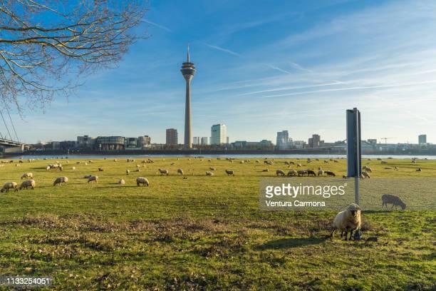 flock of sheep in düsseldorf, germany - medienhafen stock-fotos und bilder