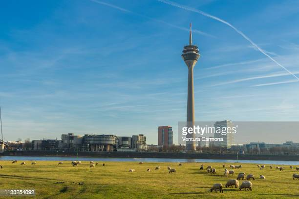 Flock of sheep in Düsseldorf, Germany