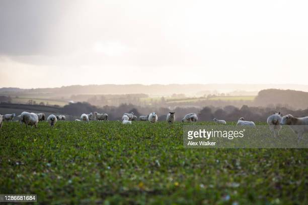 flock of sheep in field at sunset - rural scene stock pictures, royalty-free photos & images