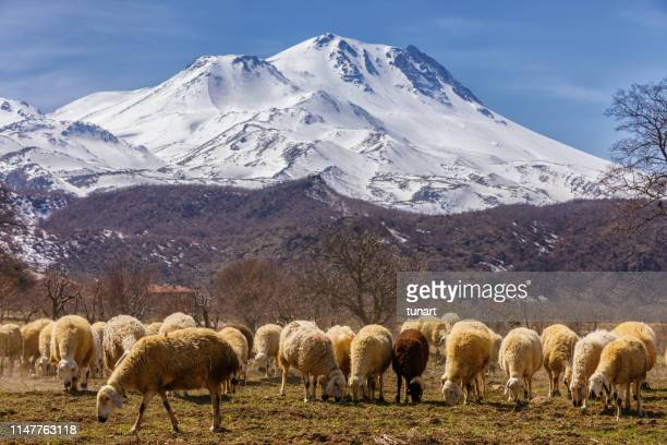 Flock of Sheep in front of Mount Hasan