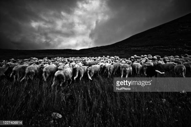 Image was converted to black and white) Flock of Sheep in Gran Sasso National Park, Abruzzo, Italy, on 15 July 2020.