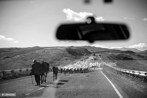 Flock of sheep in highway in Armenia