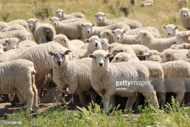 ニュージーランドの羊の群れ - 羊の群 ストックフォトと画像