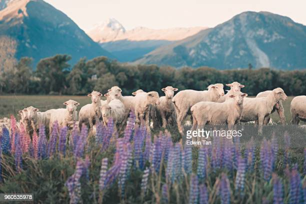 flock of sheep in south new zealand during summer lupine seasson - new zealand stock pictures, royalty-free photos & images