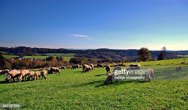 Flock of sheep in the countryside