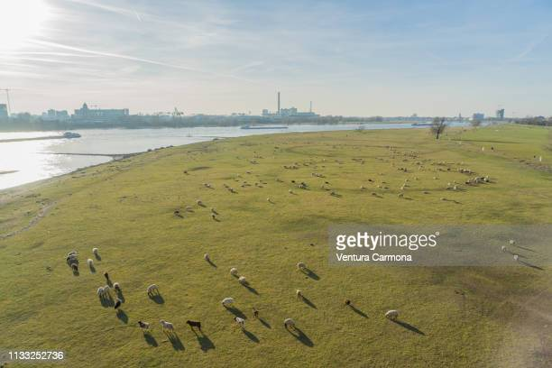 flock of sheep in the meadow in düsseldorf, germany - beschaulichkeit stock pictures, royalty-free photos & images