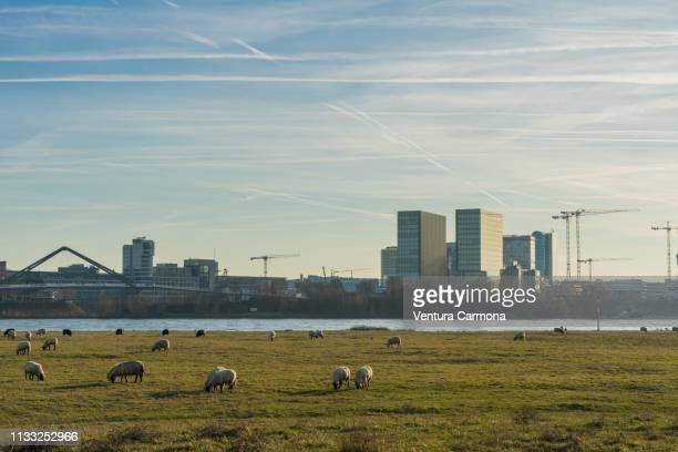 flock of sheep in the meadow in düsseldorf, germany - stadtsilhouette stock pictures, royalty-free photos & images