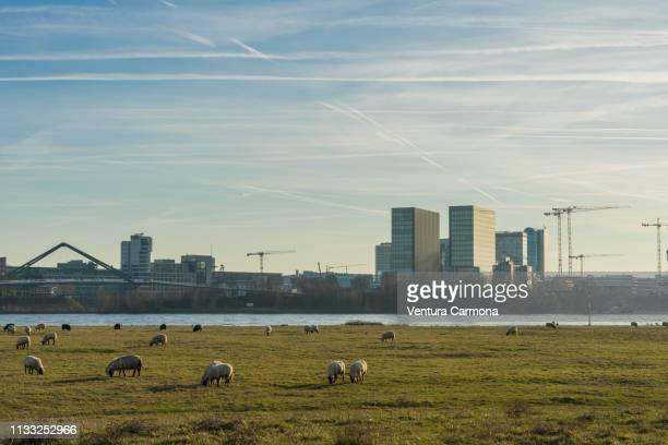 Flock of sheep in the meadow in Düsseldorf, Germany