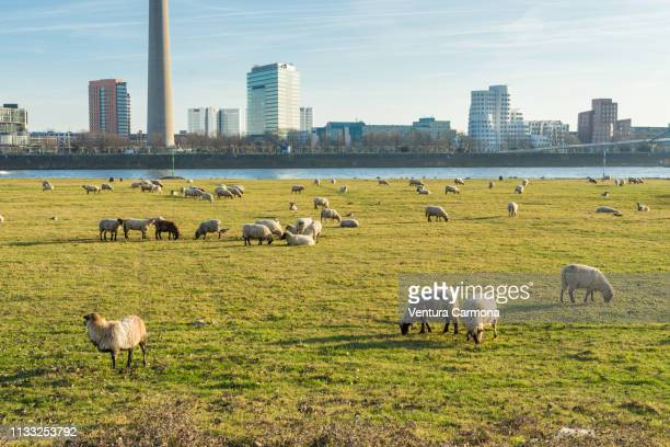flock of sheep in the meadow in düsseldorf, germany - nutztier stock pictures, royalty-free photos & images