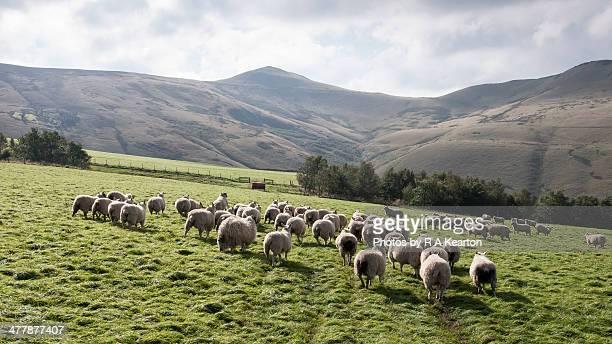 flock of sheep in the peak district - retreating ストックフォトと画像