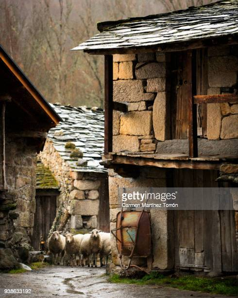 flock of sheep in the street, near the church in village - galicia stock pictures, royalty-free photos & images
